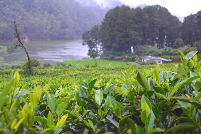 スリランカといえばやっぱり「紅茶」!