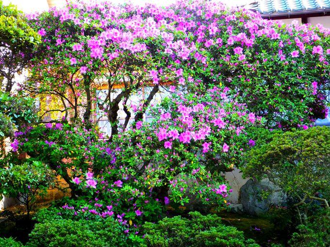樹齢400年のツツジは必見!大島「高龍寺」