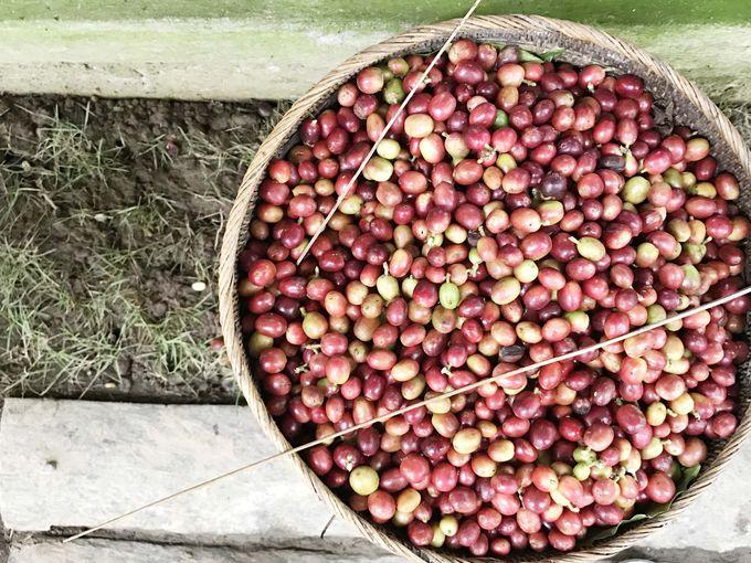 バリ島ウブドのコーヒー農園「バリプリナ」