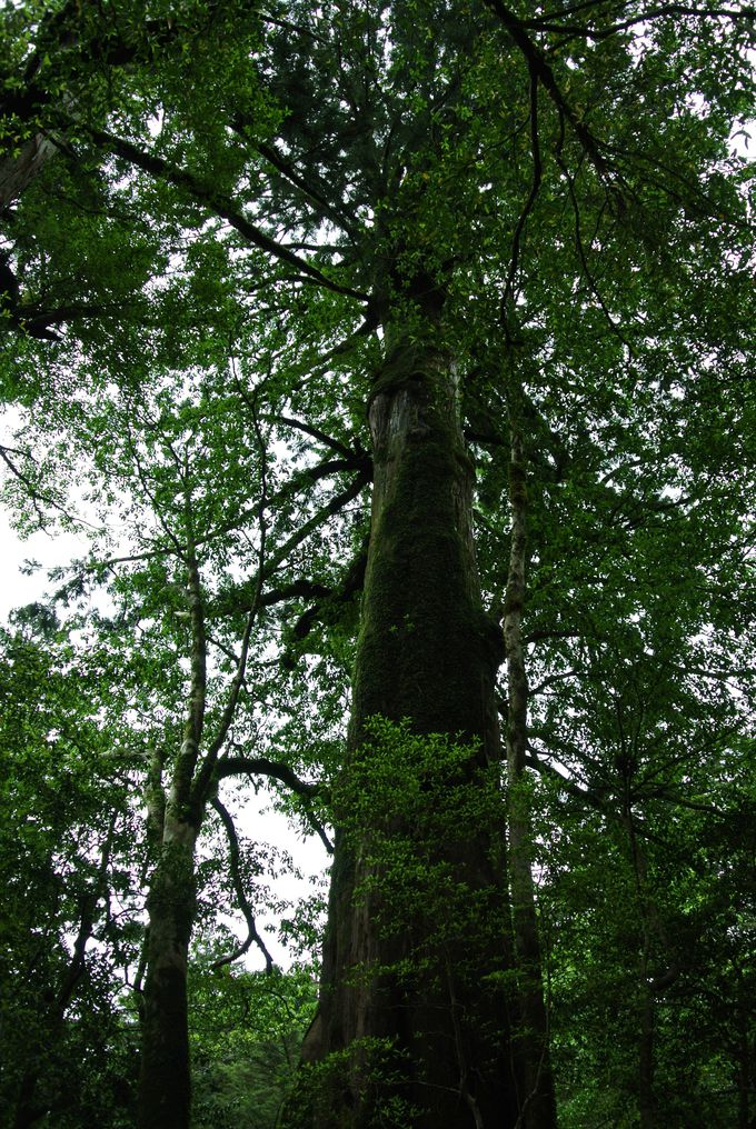 1.「ヤクスギランド」に有名杉を見に行こう!