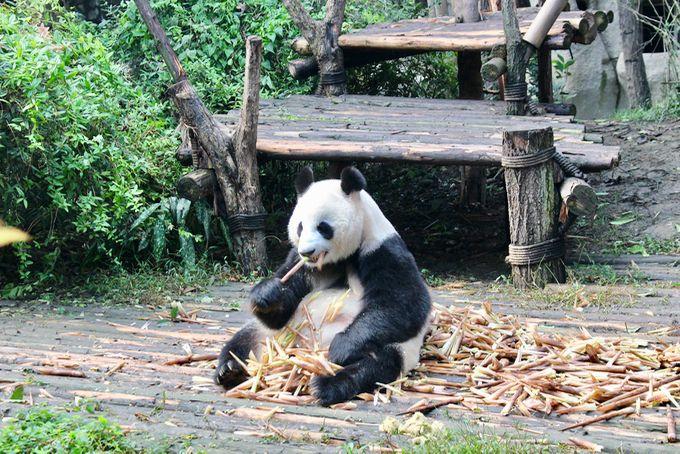 東京から5時間で行けるパンダ・パラダイス
