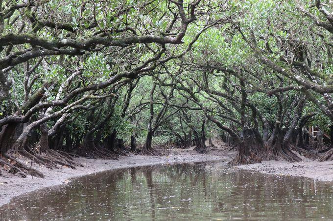 3日目午後:日本第2を誇るマグローブ原生林で「カヤック体験」
