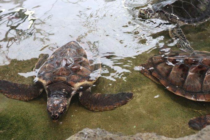 3日目午前:〜ウミガメに餌をあげよう「奄美海洋展示館」