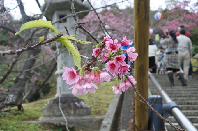階段を登り寒緋桜が咲くエリアへ!