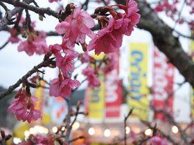 1月開催の名護さくら祭りで感じる一足お先の春!