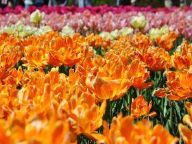 春の恒例イベント!カナディアン・チューリップフェスティバル