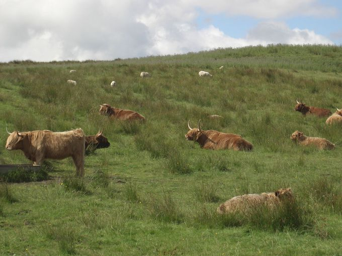 スコットランドのかっこいい?牛