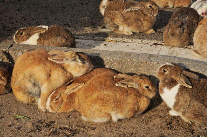 8.たくさんのウサギと触れ合える「大久野島」/広島県