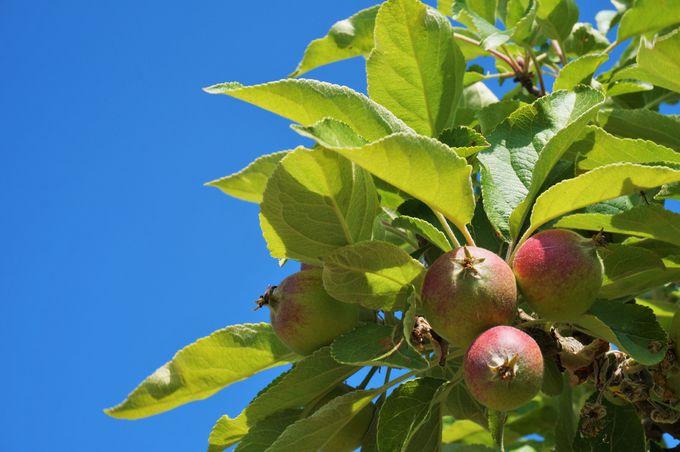 魅力その3:りんごの島