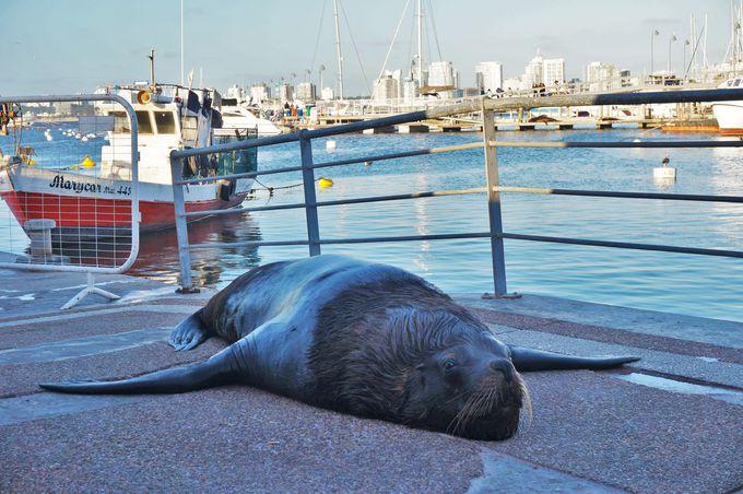 港の名物動物「巨大トド」