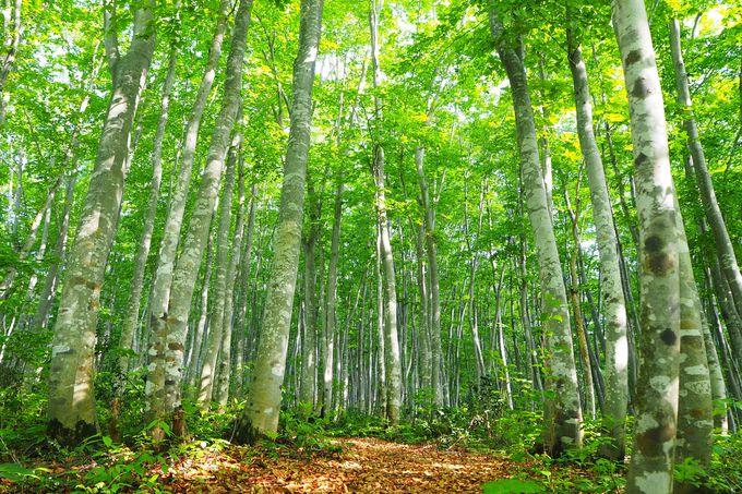 フォトジェニックなブナ林散策でリフレッシュ