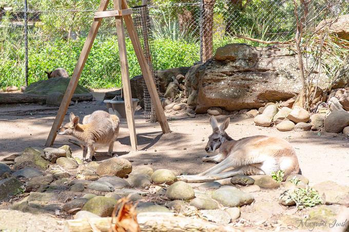コアラやカンガルーなどの「オーストラリア固有種」