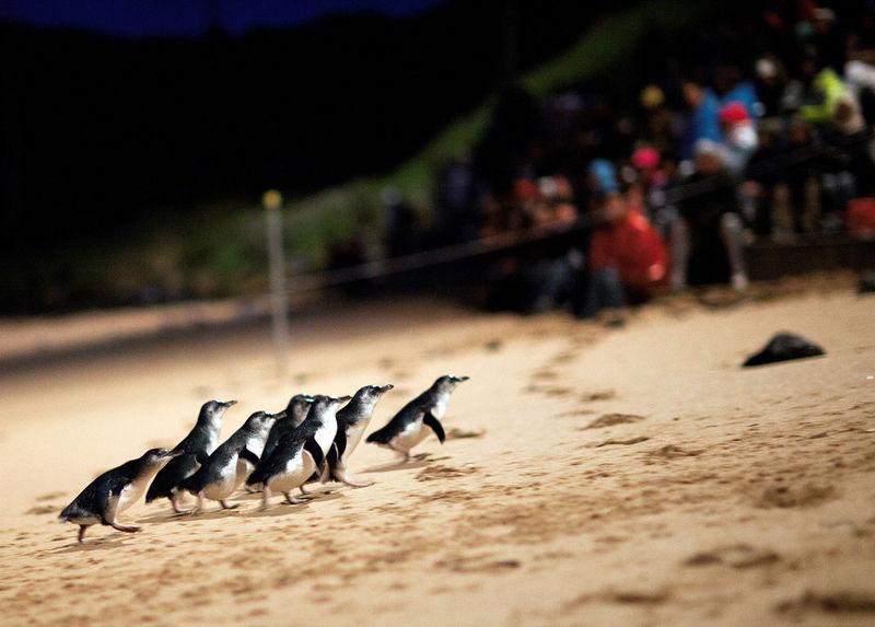 整列して行進する可愛いペンギン達