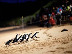 メルボルンから車で2時間のフィリップ島で「ペンギンパレード」