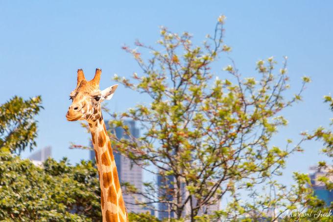 タロンガ動物園(Taronga Zoo)