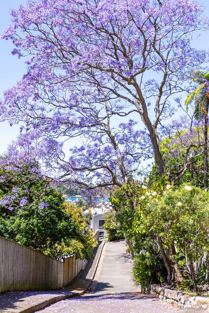 オーストラリアの春の到来を知らせる「ジャカランダ(Jacaranda)」