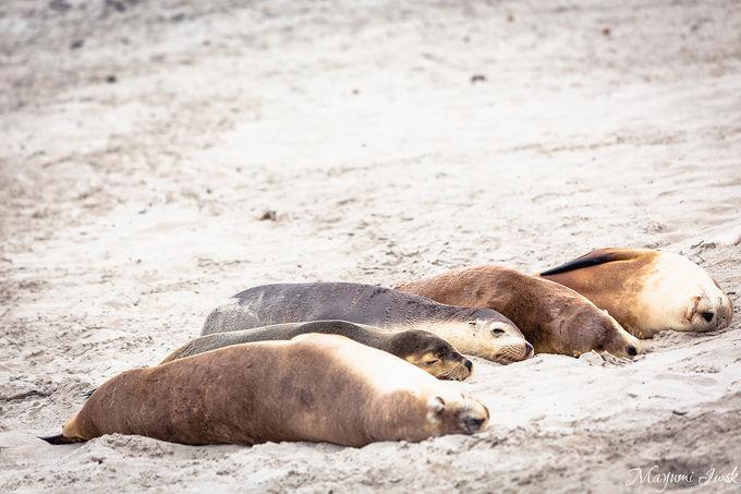 3. 「シールベイ保護公園」で絶滅危惧種の野生アシカに会う