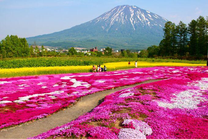 10.4月過ぎても大丈夫。北海道で「芝桜の絶景」に感動