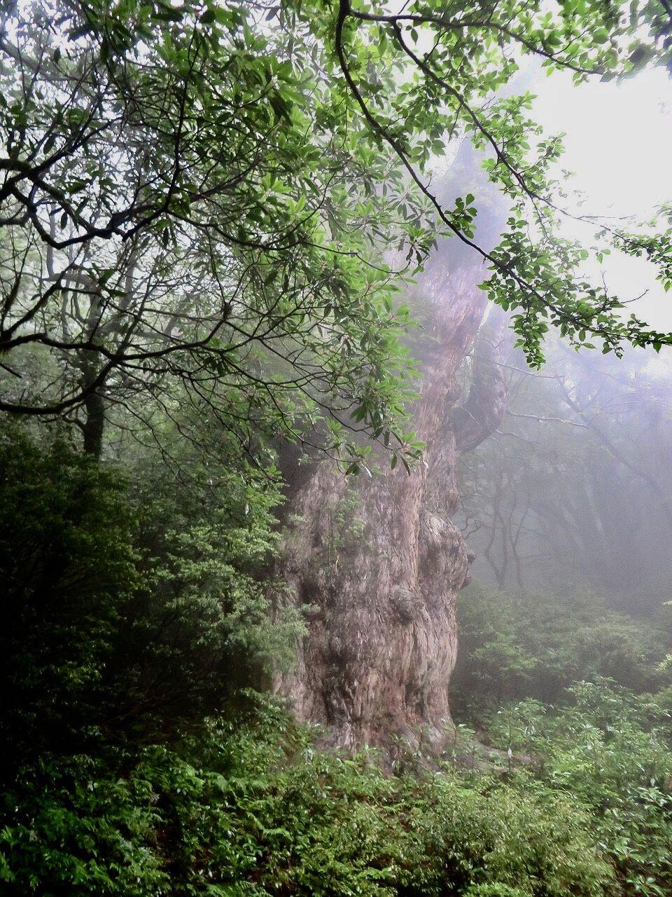 最後の体力を振り絞り、最終目的地縄文杉を目指そう!