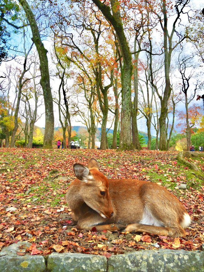 やはりここは必須!鹿と紅葉コラボの奈良公園