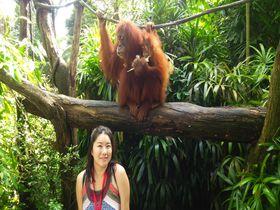 オランウータンに最接近「シンガポール動物園」は生態展示の先駆け