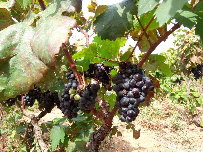 ワイン蔵とぶどう畑の見学からスタート!