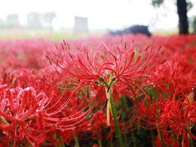 大分で彼岸花を観るなら竹田「七ツ森古墳」