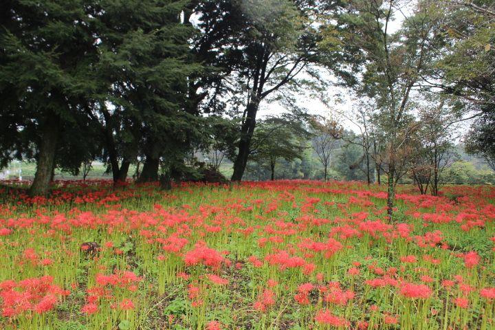 七ツ森古墳の彼岸花は9月中旬からが見頃