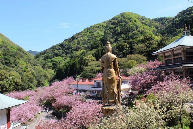 桃源郷と呼ぶにふさわしい牡丹桜の名所「一心寺」