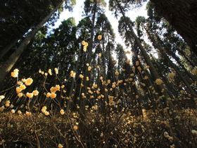 圧巻の群生地!大分「野倉の里ミツマタの森」へ春の山歩き