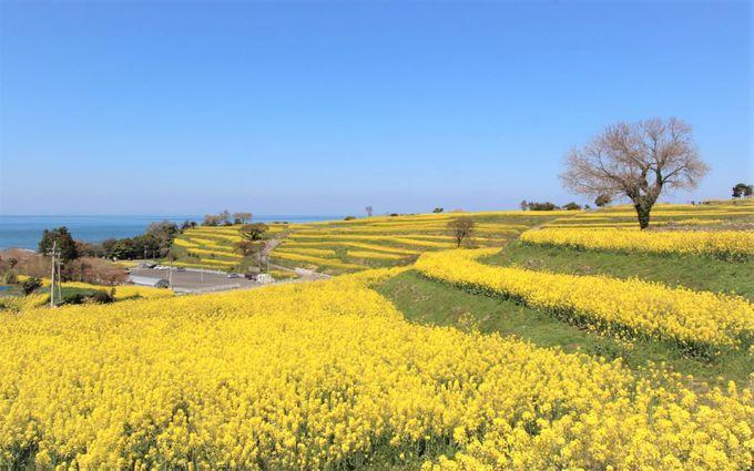 「花とアートの岬・長崎鼻」は、菜の花と相性の良い被写体を探して楽しもう