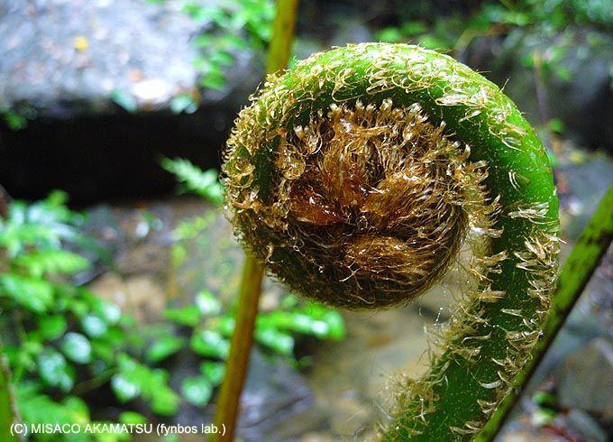 亜熱帯雨林だからこそ自生する、想像を絶する巨大シダ植物