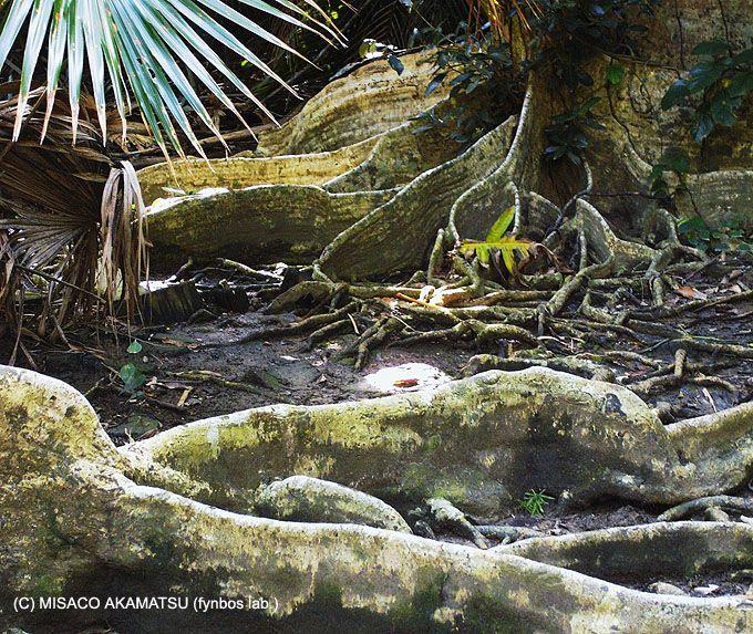 天然記念物、サキシマスオウノキの「板根」も見逃せない!