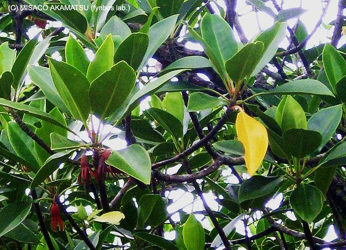 マングローブが生き残る理由、それは独自の進化に有り!