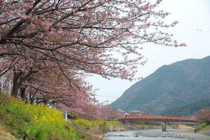 河津桜まつりのメイン会場である、河津川沿いの桜並木。