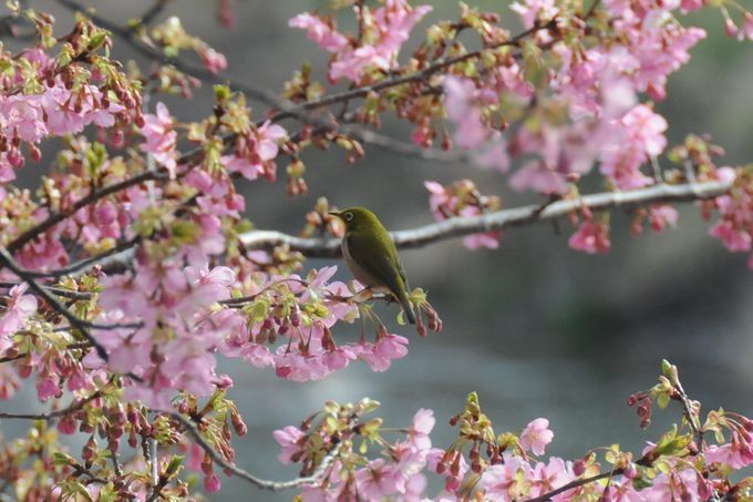 梅にウグイス、河津桜にメジロ
