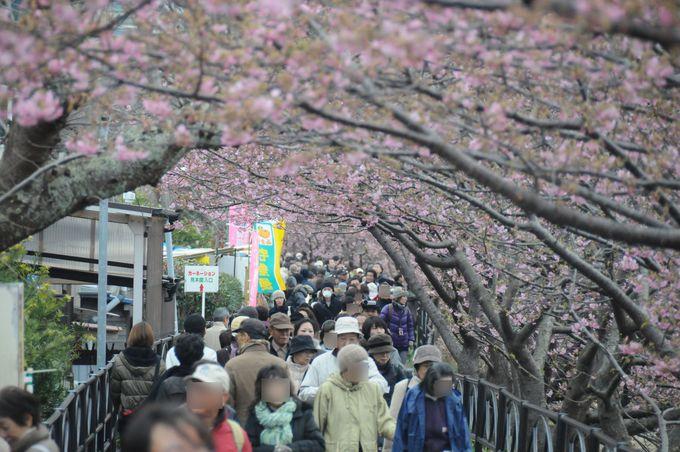 河津桜お花見ウォーキングコース