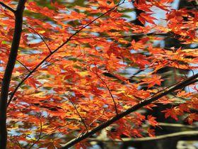 茨城で穴場の紅葉名所「花貫渓谷」吊り橋に覆いかぶさるモミジが圧巻!