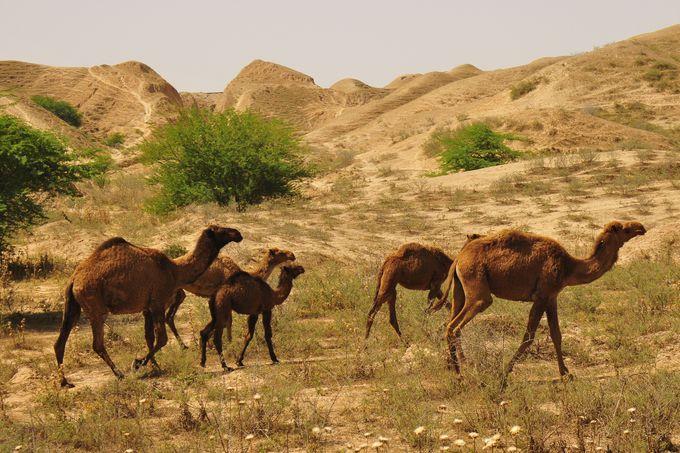 遺跡付近を移動するラクダ