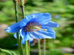 「白馬五竜高山植物園」で花を愛で山を眺めトレッキングも楽しむ