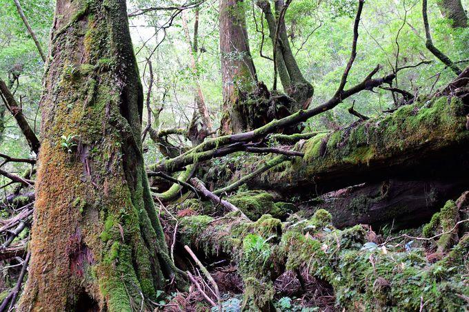 ヤクスギランドと紀元杉