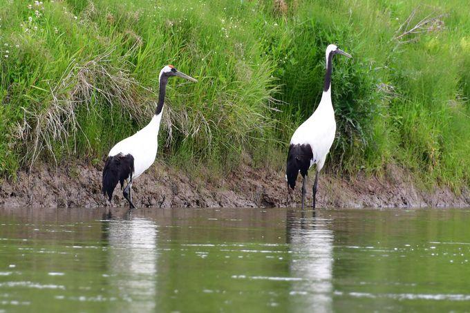 釧路湿原で見られる野鳥たち