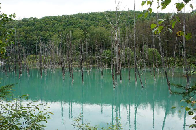 引き込まれるターコイズブルー 美瑛「青い池」