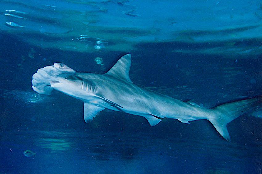 トンネル水槽を泳ぐ大迫力のサメの群れ