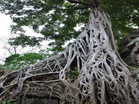 巨大樹が遺跡をのみ込む迫力!シェムリアップ「タプローム」