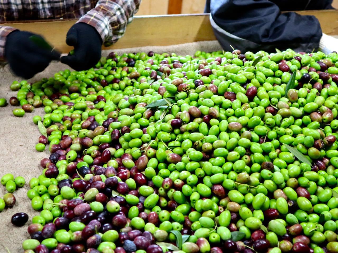 熟度や状態を確かめながら果実を選別する「選果体験」