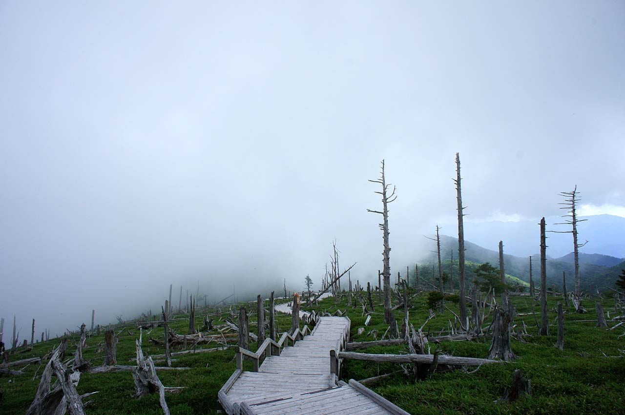 正木ヶ原に広がるトウヒの立ち枯れ