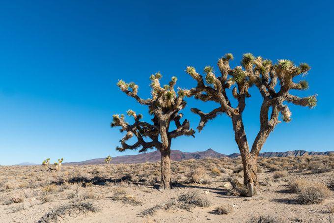 荒地にそびえ立つジョシュアツリー