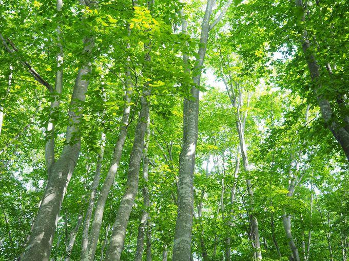 ひんやりと静かなブナ林の中へ