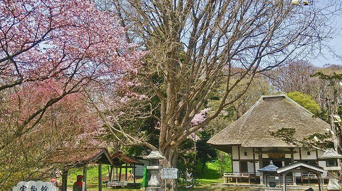 有珠善行寺の桜(伊達市)